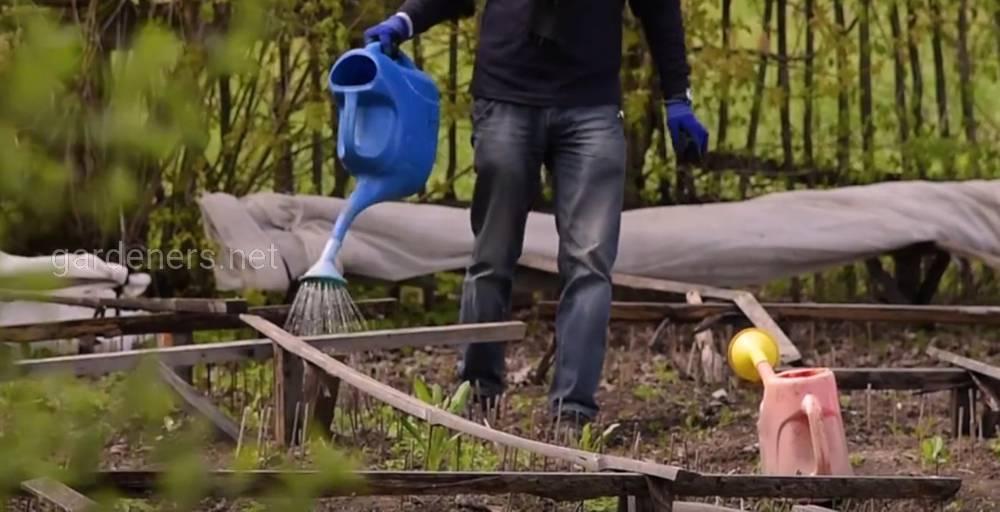 полив кедрового стланика