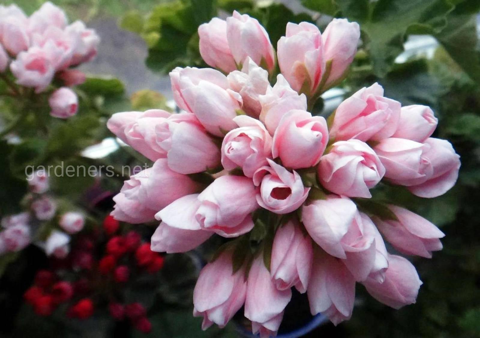 Тюльпановидная герань.jpg
