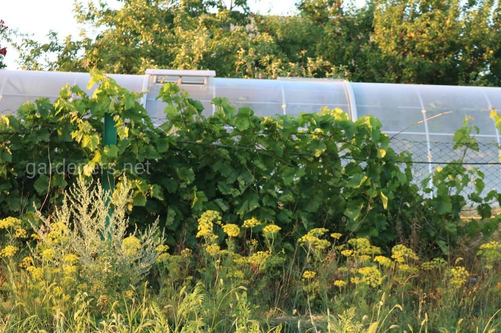Тепличні огірки дуже добре уживаються з виноградом