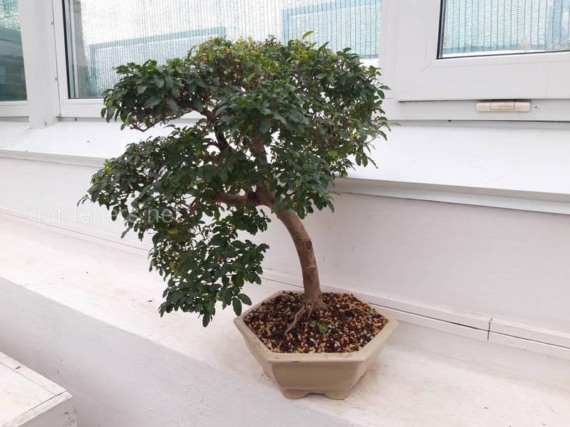 Як зробити власне дерево бонсай?
