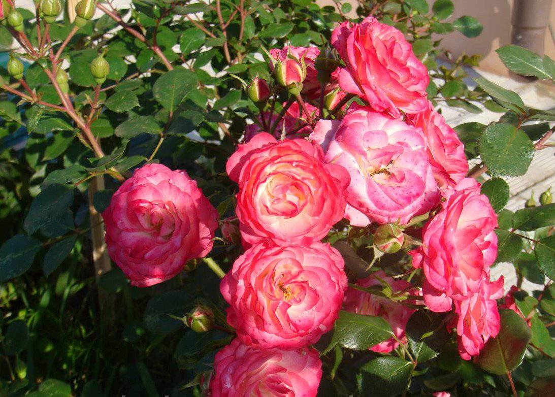 Сорт почвопокровной розы Patte de Velours