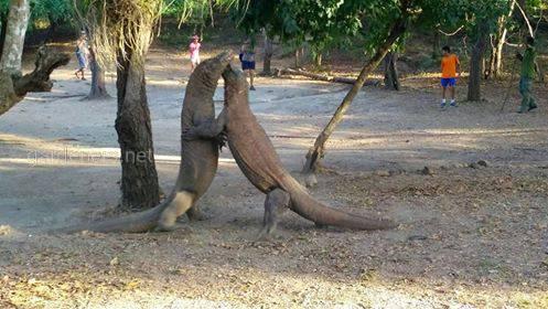 Вараны в Индонезии