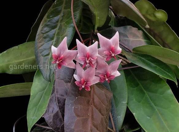 Hoya species