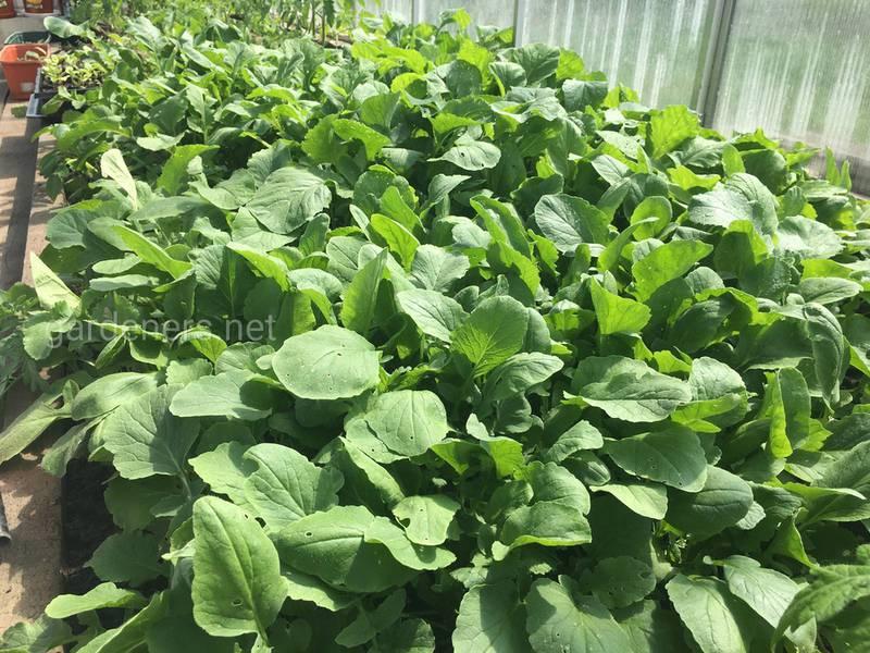 Значение органических удобрений для редиса