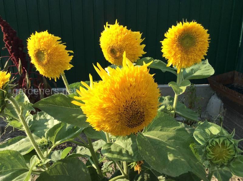 Соняшник, як прикраса вашого саду!