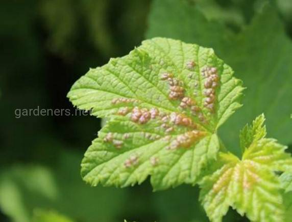 Химические препараты против скручивание листиков на смородине