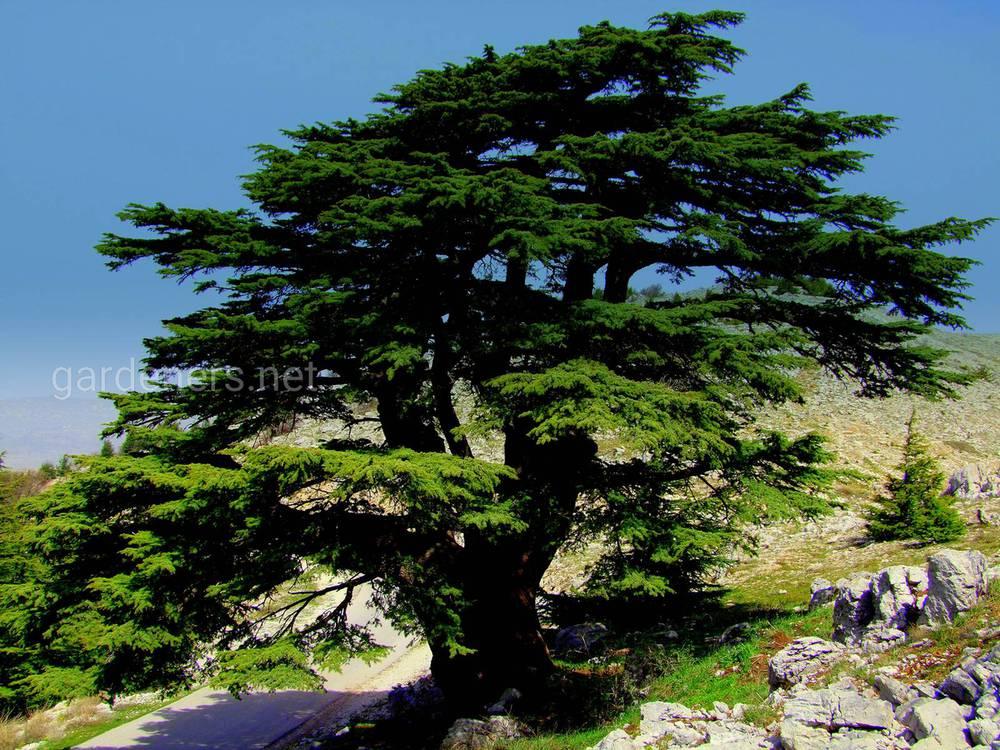 Кедр в Ливане