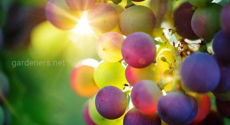 ТОП-12 заготовок из винограда, которые съедаются за считанные минуты