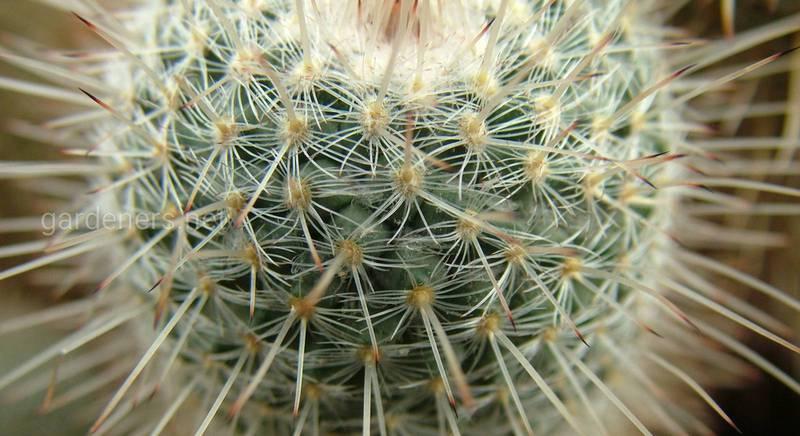 Мексиканские кактусы