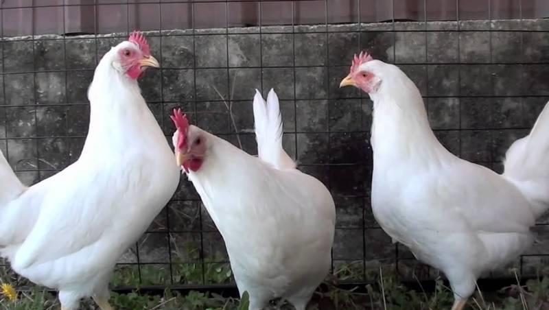 Как избежать неприятных последствий при выращивании кур?