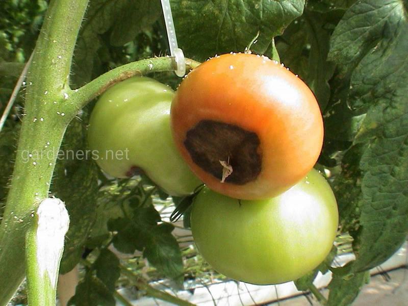 Почему возникает вершинная гниль томатов? Симптомы