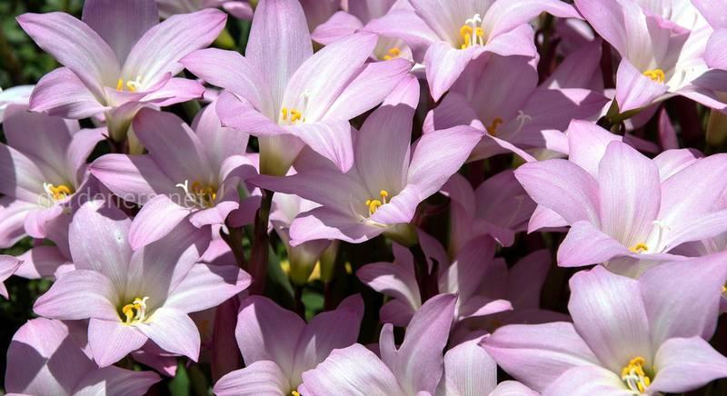 Зефирантес: выращивание в саду, правила, особенности и уход