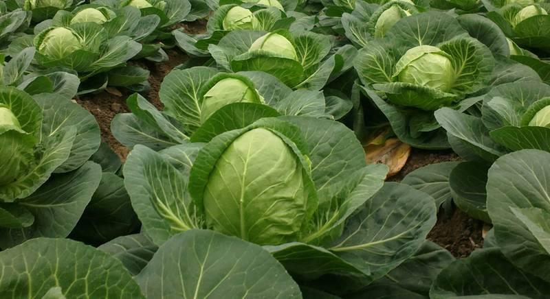 Які умови необхідні для успішного вирощування тепличної капусти?
