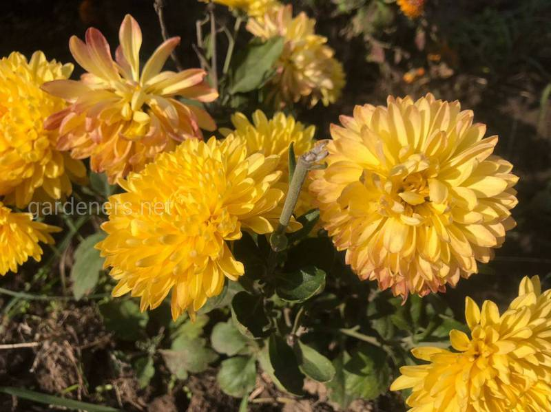 Як захистити хризантеми від шкідників та хвороб восени?