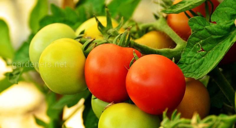 Ботаники считают томаты ягодами, Верховный суд США признал их овощами, а в Евросоюзе - фрукт