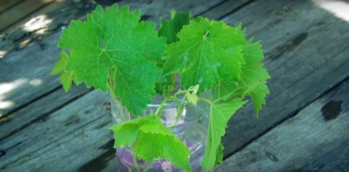 зеленные черенки винограда