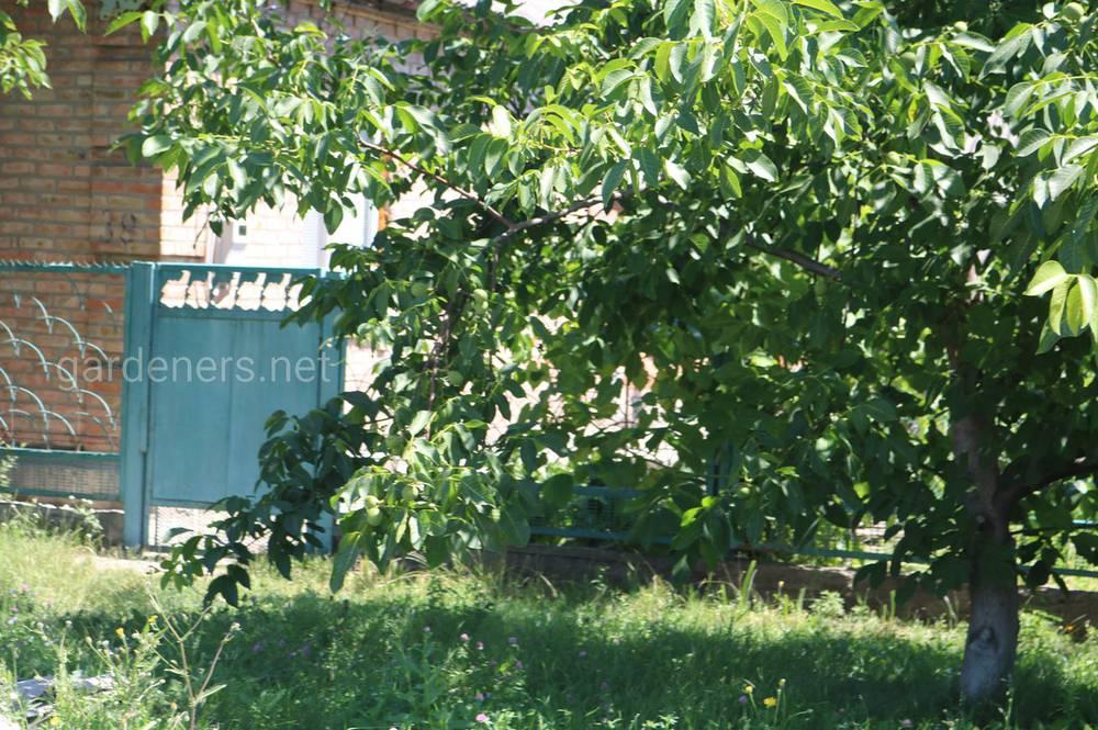 Планування ділянки перед посадкою горіха