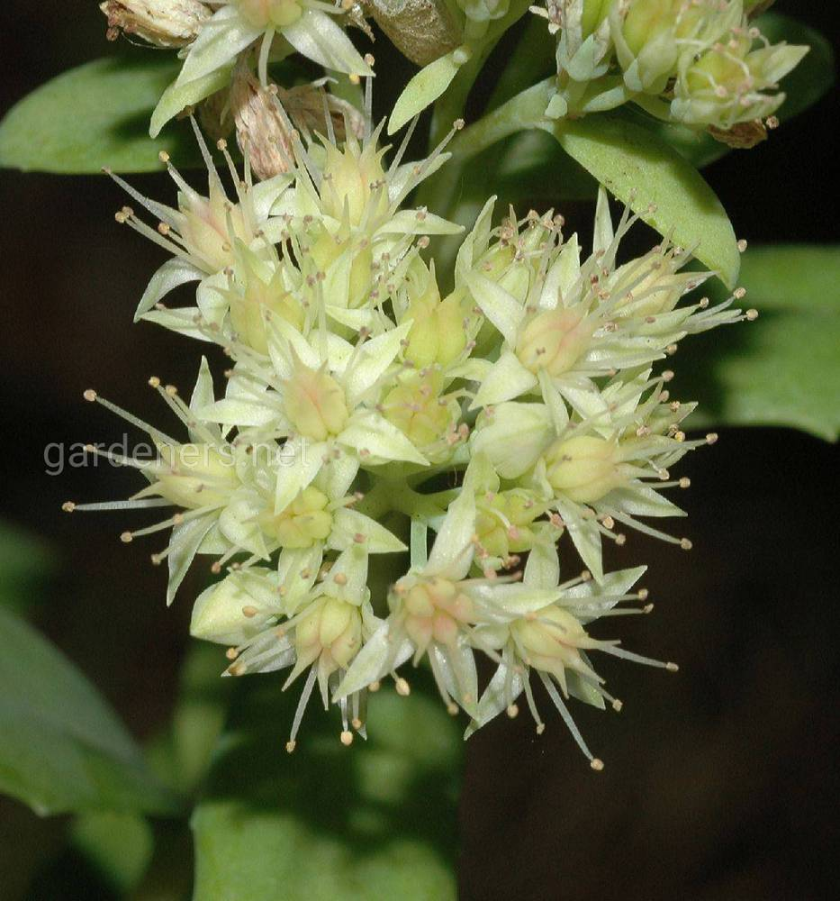 Hylotelephium pallescens