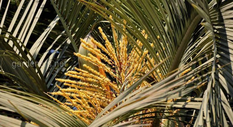 Бутія: розмноження і догляд за желейною пальмою