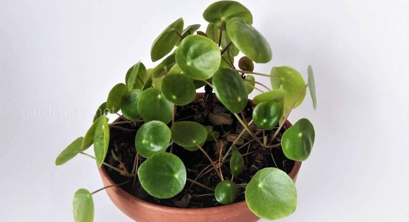 Растение салют - пилея монетовидная.