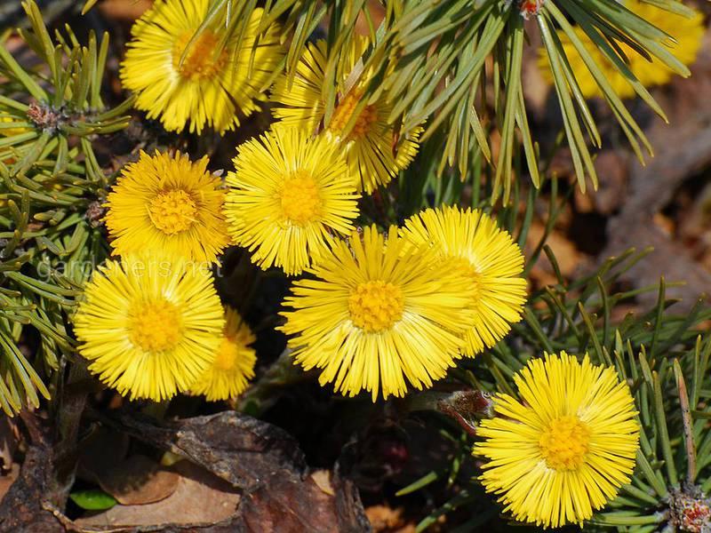 Забуті весняні рослини, якими лікували наші бабусі
