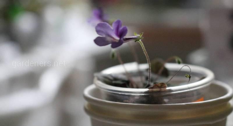 необычное комнатное растение Bright Eyes