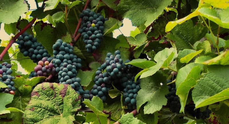 Обрезка винограда осенью, летом, весной. Когда и как обрезать виноград?