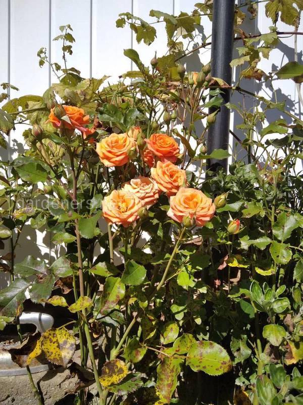 Роза в горшке весной