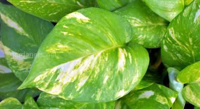 Потос или сциндапсус: уход, растение с очищающими свойствами воздуха и живые стены из этого растения
