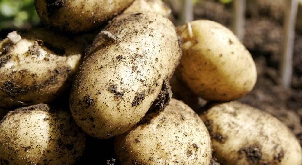 Сорт картофеля атлант характеристика