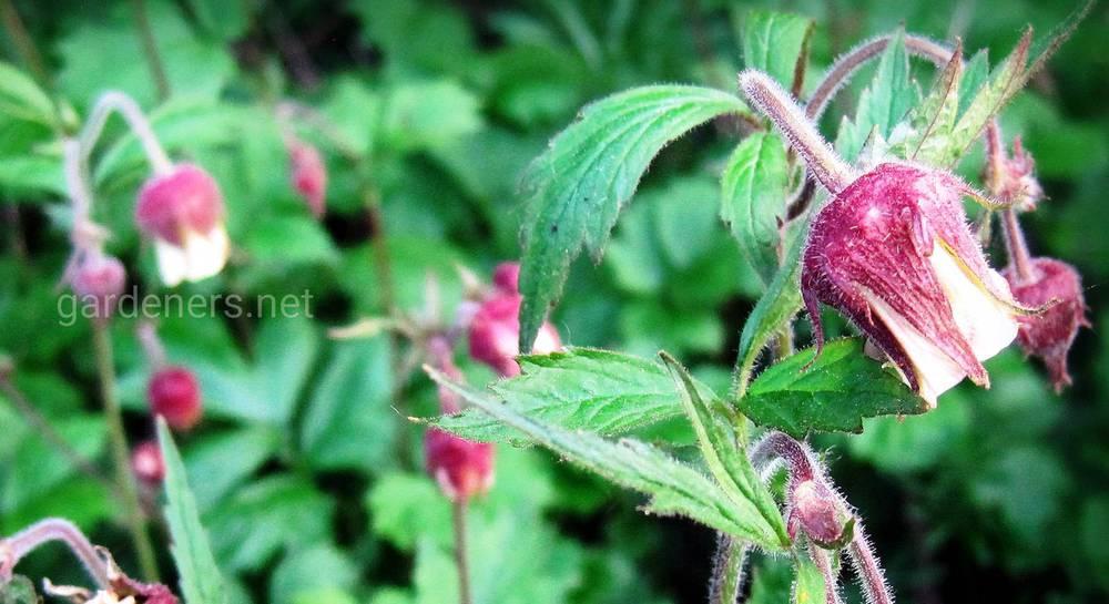 ароматные растения для сада.jpg