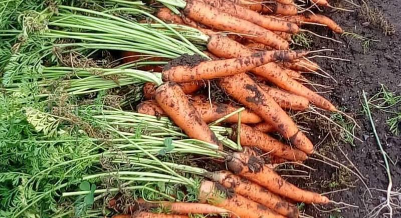 урожай моркови.jpg