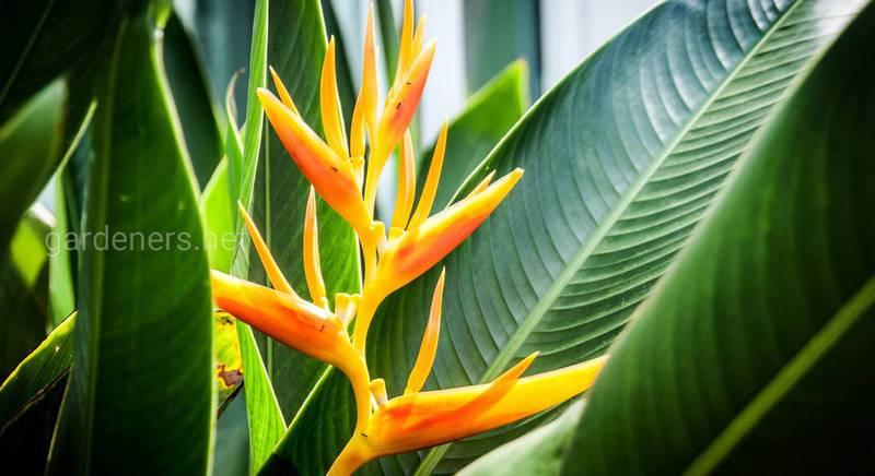 Выращивание яркой геликонии: уход, размножение и защита от вредителей