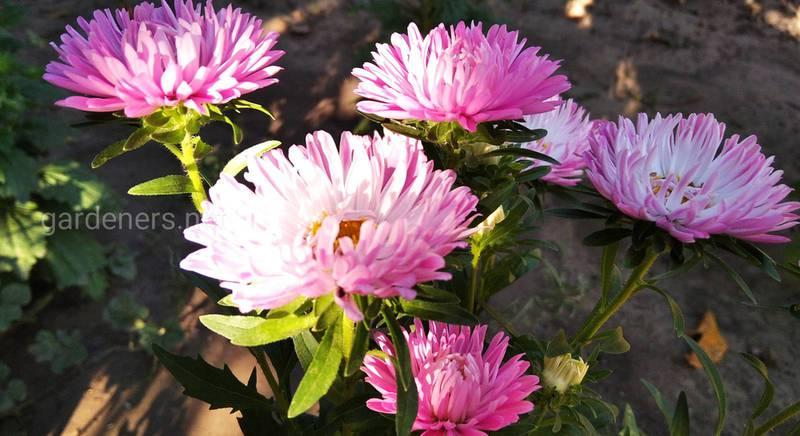 ТОП-5 растений, которые продолжают цвести до заморозков