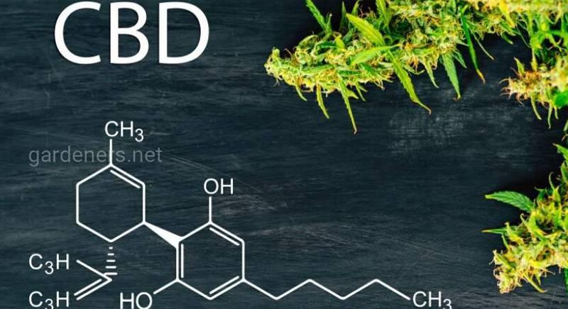 Феномен CBD: що це та чому це так ефективно?