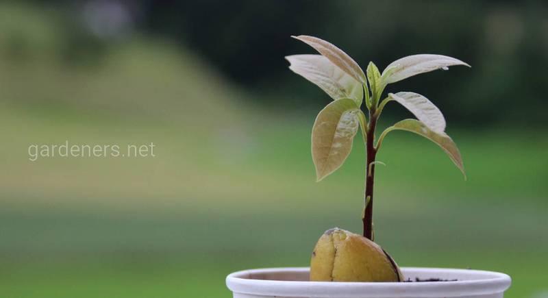 Виростимо кімнатну рослину із насіння