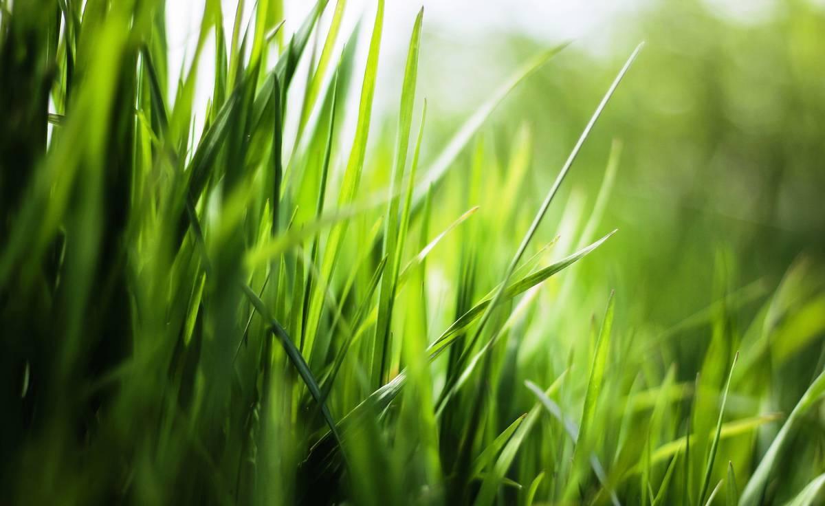 трава_газон