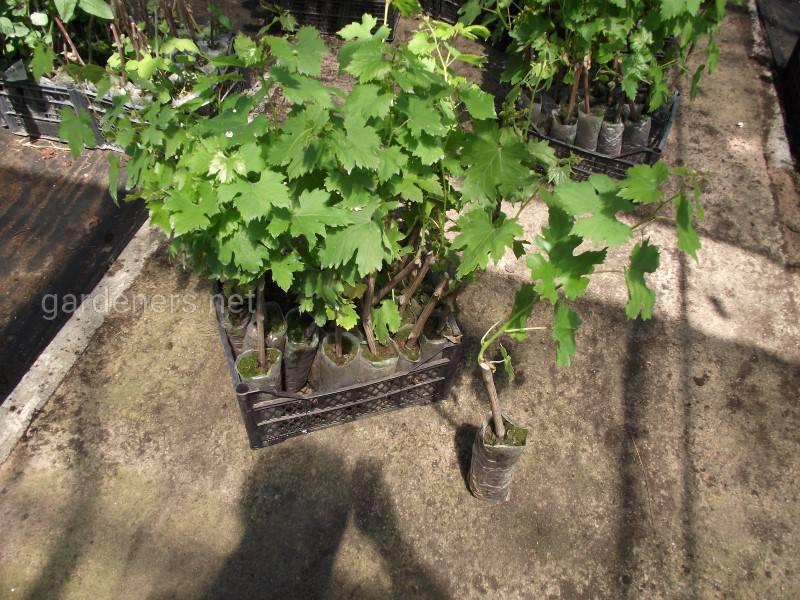 молодые саженцы винограда