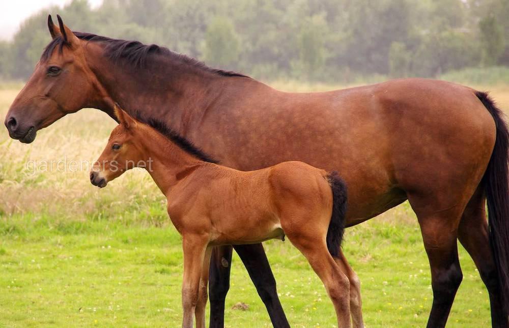 Гніда масть коней
