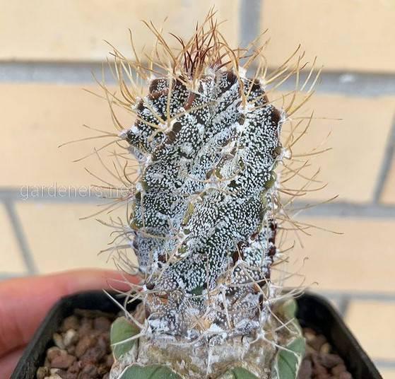 Astrophytum ornatum Spiral