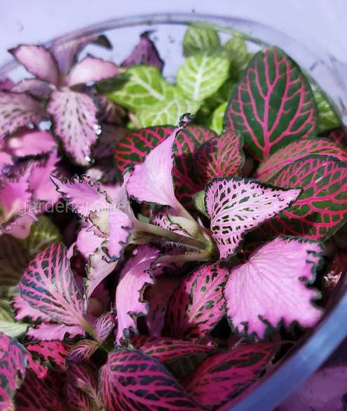 Fittonia Ruby Red
