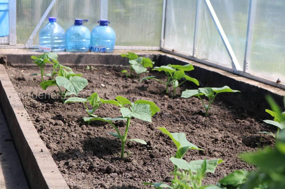 огурцы теплолюбивые растения