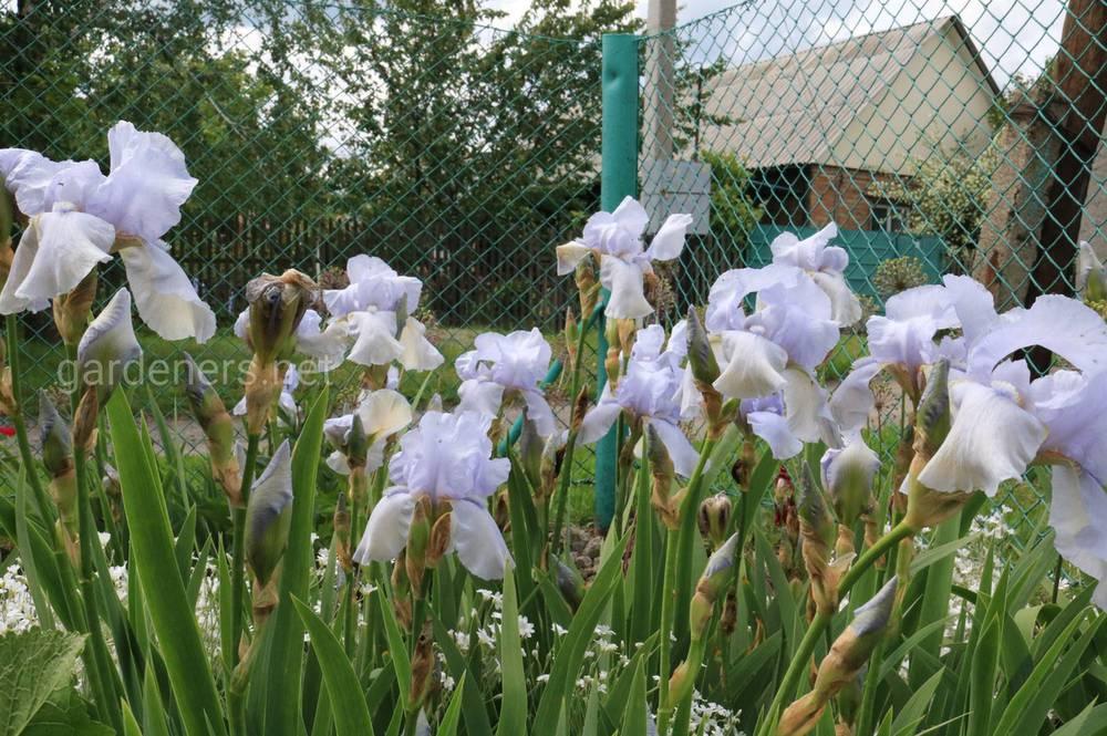 Що посадити уздовж паркану