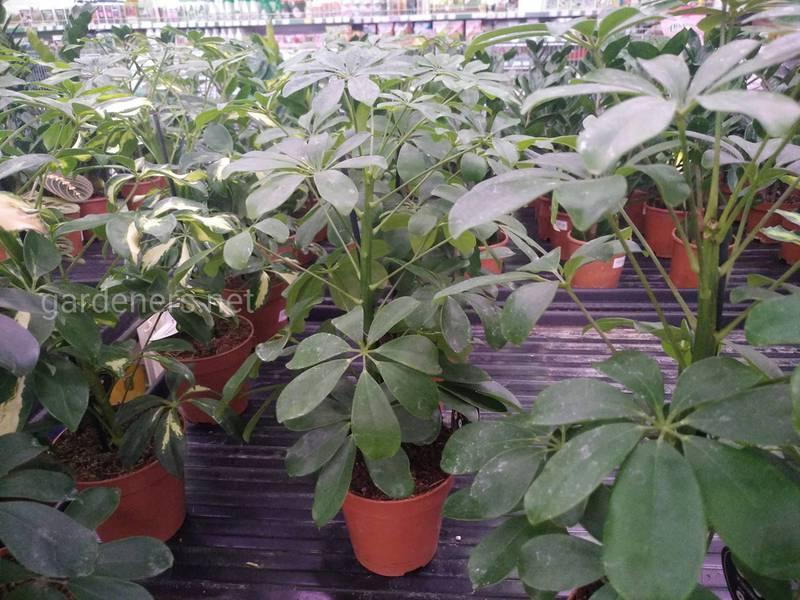 Які проблеми можуть виникнути при вирощування шефлери та як їх вирішити?
