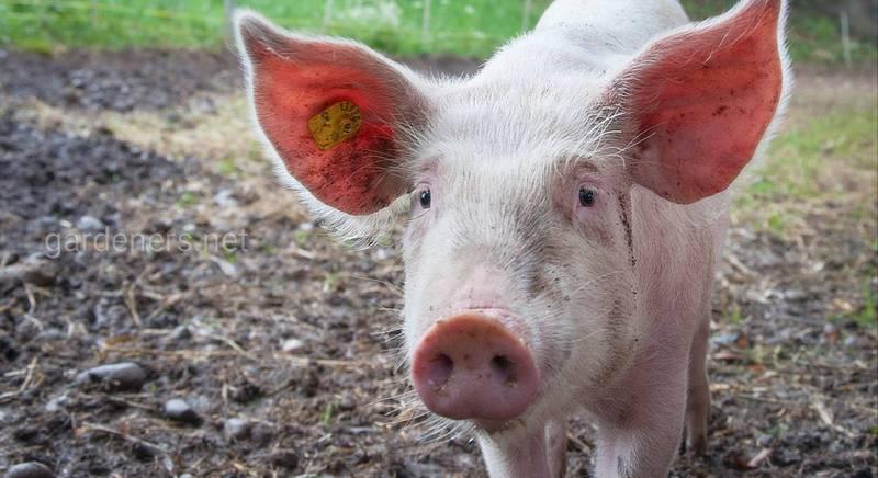 Живі свині дешевшають у закупівлі. З чим це пов'язано?