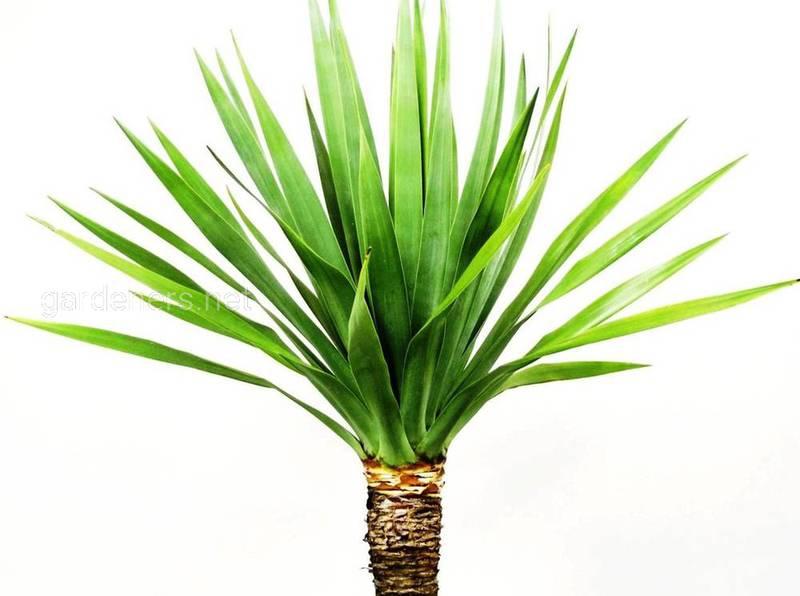 """""""Самка дракона"""": неприхотливое растение, которое украсит любую комнату"""