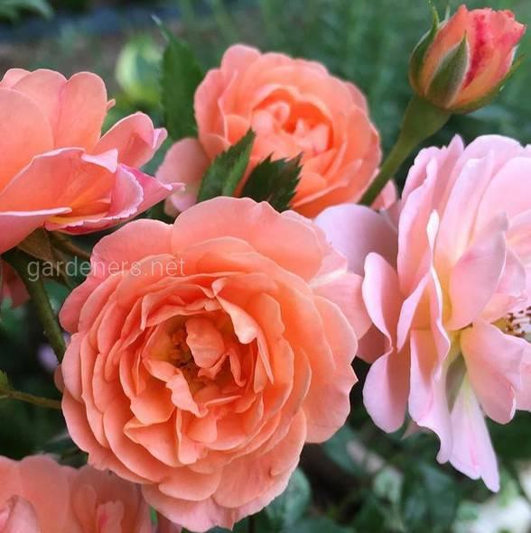 Какие самые распространенные виды роз, используемые в декоративных целях?