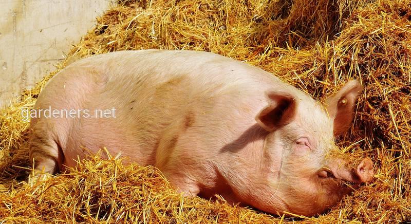 Рожа свиней: как сражаться, лечение и профилактика