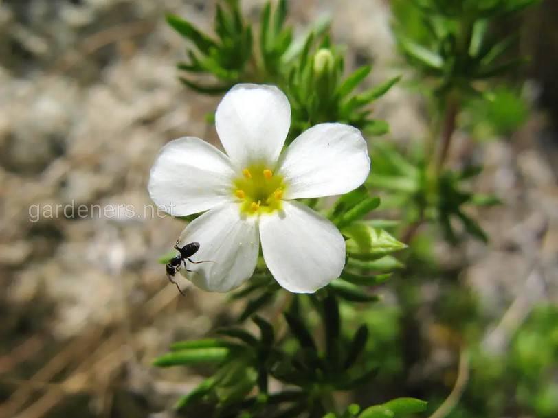Linanthus