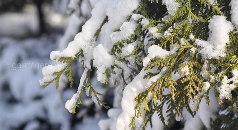 Берегите от снега вечнозеленые растения.jpg